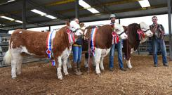 Lyndsey Behan, Garreth T Behan and Trevor Shortt, with the three Clonagh herd champions, Clonagh Jazzy Eyes, Clonagh Just a Dream and Clonagh Hot Shot, a first ever triple-show championship for the same Simmental herd.