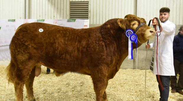 Buyers from the north and across the water snapped up champions at first Limousin show and sale of the season