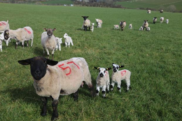 Michael Duffy numbers his lambs to aid in identification