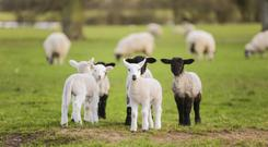 Young baby spring lambs and sheep