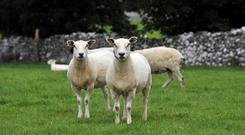 Genetically elite Suffolk and Texel sheep from New Zeland at the Teagasc centre in Athenry. Photo: Ray Ryan