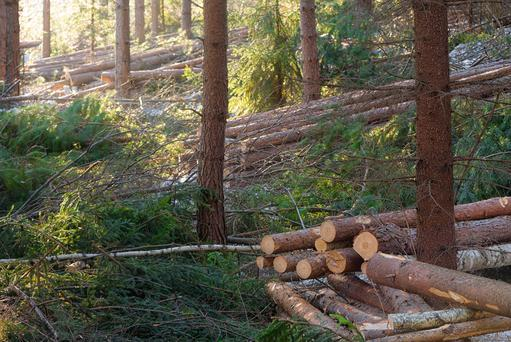 Over half of Irish sawmills' output is exported