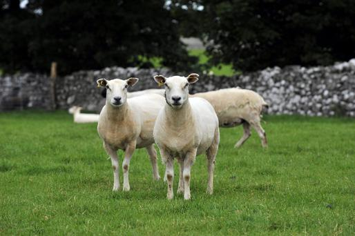 Lambs under 12 months of age moving directly to slaughter from the holding of birth will be required to be identified with a single electronic tag. Photo: Ray Ryan