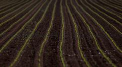 Maize sprouts are is seen in a field in Schnersheim, France, April 25, 2018. Picture taken April 25, 2018. REUTERS/Vincent Kessler/File Photo