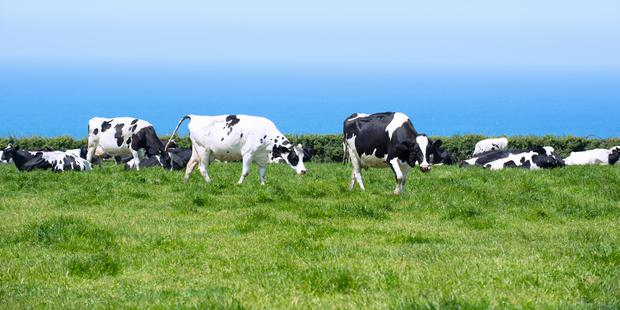 Dairy cows in lush pasture with blue ocean in background