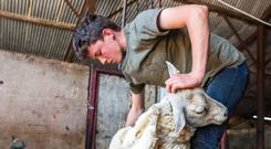Edward Cahill pictured during a day's shearing outside Dunlavin last week. He was working alongside his uncle John Corrigan and local contractor Joey Walsh. At only 14 years of age, Edward is hopefully among the next generation who will take up the busines