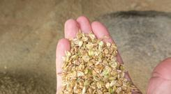 Wheat sample after crimping