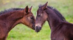 Rattles can be fatal to foals that don't respond to treatment