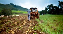 Potato crops are suffering badly this year
