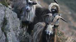 The old Irish Goat is in danger of dying out