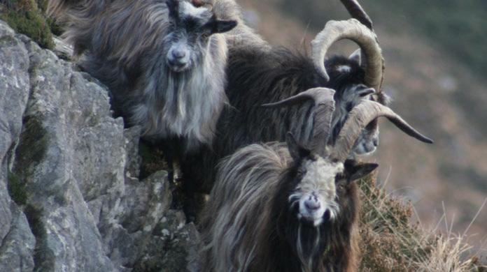 Old Irish goats are on their last legs without State aid
