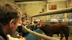 The weanling sale season has got off to a strong start. File photo