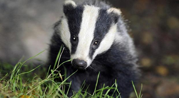 Farmers have to badger proof farm buildings