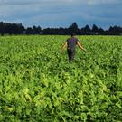A French farmer walks in his sugar beet field in Epinoy, France, August 13, 2018. REUTERS/Pascal Rossignol