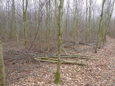 Thinning is an essential operation to produce quality broadleaf timber. Poor quality stems are removed providing great wood fuel