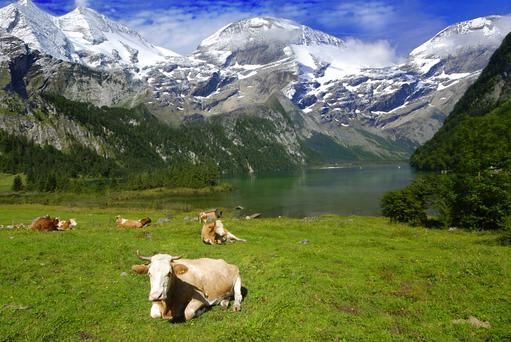 Smaller Swiss cows of 500 to 600kg can produce a proportionally greater 6,000 to 7,000 litres of milk