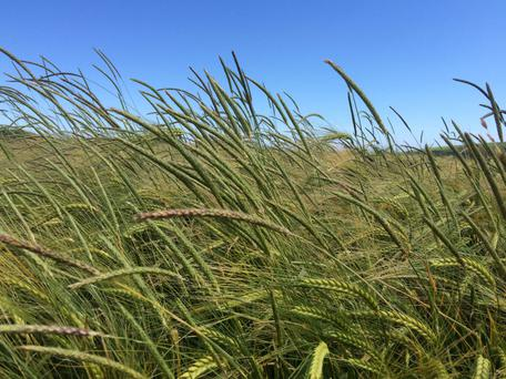 Blackgrass cases have been increasing in recent years