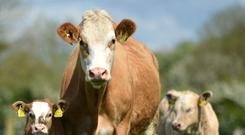 There has been a 30pc drop in suckler herd numbers over the last 20 years