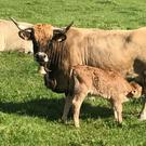 Nolorgue Papine, with a newly born calf on Paul Grace's farm at Dunlavin, Co Wicklow