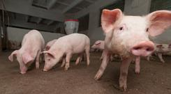 A total of 545 pigs had already died on the two farms in Zhaotong when the disease was confirmed.