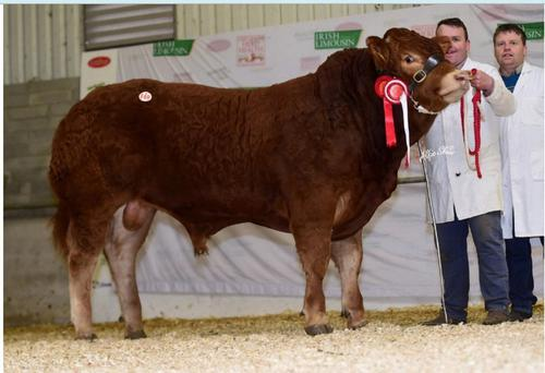 Carrickmore Maximus Et, which sold for €38,000 at the Limousin Premier Show and Sale at Roscrea.