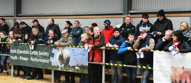 A sideline view for a section of the large attendance of breeders who watched the judging at the Irish Charolais Cattle Society Elite Heifer Show at Tullamore.