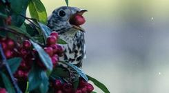Berry happy: The Thrush enjoying his winter feed in seasonal style
