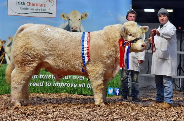 Aiden MacHale , Knockanillaun, Ballina Co Mayo, exhibitor and Seamus Egan with Garracloon MIghty Mac, Junior Champion at the Irish Charolais Cattle Society Christmas Crackers Show and Sale 2017.