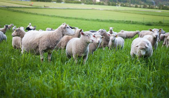Our experts differ on the merits of the Sheep Ireland star-rating system