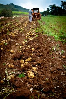 Approximately 40-50pc of the seed for two of the most common potatoes eaten in Ireland, Roosters and Kerrs Pink, comes from the UK.