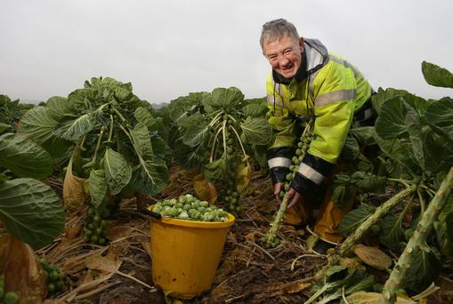 Andrew Fitzpatrick hand-picking Brussels sprouts at Hilltown Growers in Garristown, Co Dublin. Andrew has been picking sprouts for 42 years and harvests up to nine acres in a typical season. Photo: Damien Eagers