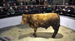 A bullock weighing 580kg owned by Francis Divilly, Corrandulla went for €1,340 at Headford mart cattle and sheep sale. Photo: Ray Ryan
