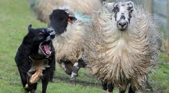 Mr O' Donnell called for a national media campaign to be set up to warn people of the potential harm their dogs can cause to sheep flocks when they are allowed to run free unsupervised.