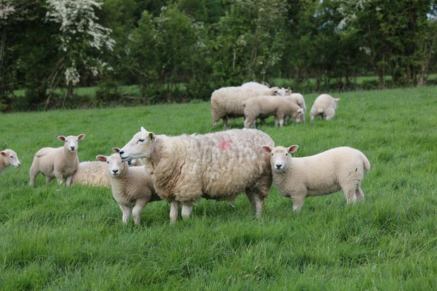 50pc of lambs produced in Northern Ireland go south of the border, but these would face a tariff of £40 per lamb in the event of a no-deal Brexit.
