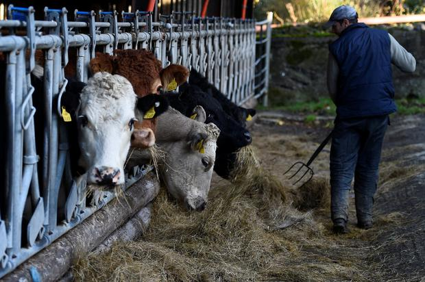 A Farmer puts out silage for the Hereford and Aberdeen Angus cattle in a shed on his farm. REUTERS/Clodagh Kilcoyne