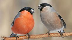 Bullfinches are in demand by poachers