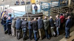 Buyers gather ringside at Roscrea Mart last week. Photo: Kevin Byrne Photography