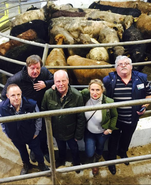 Pictured at Castleisland Livestock mart inspecting weanlings bought for export to Turkey were from left to right: Eddie Punch (General Secretary ICSA), Roddy Tyrell, Cors and Bea Heemskerk of Heemskerk Ltd who have the contract, and Dermot Kelleher, ICSA Munster vice president