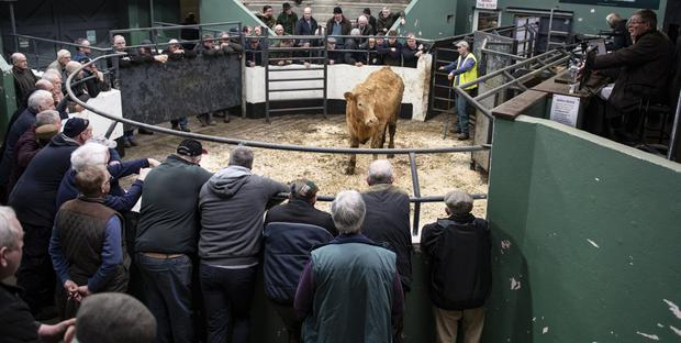 This Charolais heifer (weight 560kgs) made €1,090 at last week's Ballymahon Mart. Photo: Kevin Byrne Photography