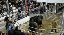 Prices for calved heifers range from €1,300 to €1,800/hd, with EBI and genetics dictating the sale values.