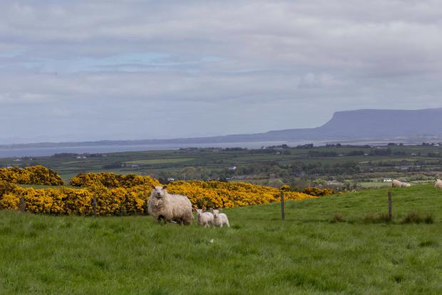 Grass growth on the Higgins farm for the last week of April was 84kg DM/h a. Photo: Brian Farrell