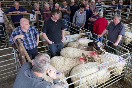 Last Thursday's sale saw a good entry of sheep at Ballymote mart. Photo: Brian Farrell