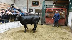A 13-month-old 380kg Limousin Cross made €725 at Enniscorthy Mart. Photo: Roger Jones