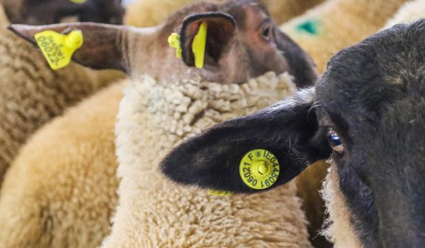 The new electronic tag in the right ear of a lamb