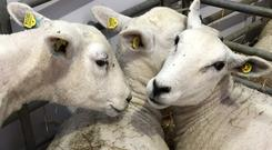 Tag time: The new sheep ID rules will be introduced in two stages
