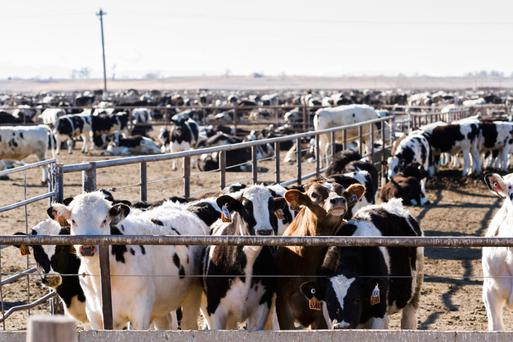 Feedlots: Given my beef background, the visit to feedlots is always a learning experience - both good and bad
