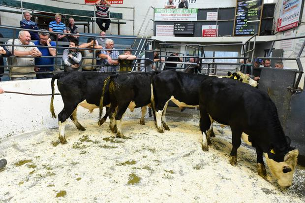 These four Hereford bullocks (born 23/01/18) with an average weight of 406kg went for €710 each. Photo: Roger Jones