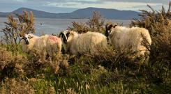 Over 30pc of the breeding ewe flock are mountain ewes
