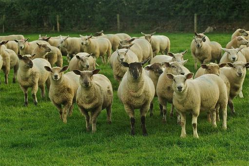 Scientific: Pasture-fed sheep have a key role to play in a healthy diet and in sustainable farming systems