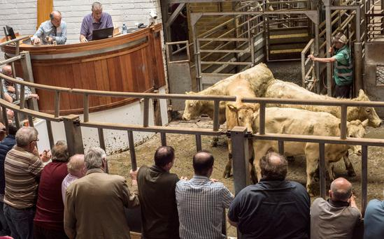 Price watch: These 354 Kg Charolais made €700 during last week's Kilkenny Mart sales. Photo Kevin Byrne Photography